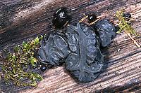 Stoppeliger Drüsling, Abgestutzter Drüsling, Becherförmiger Drüsling, Warziger Drüsling, Hexenbutter, Exidia glandulosa, Exidia truncata, black witches' butter, black jelly roll, warty jelly fungus, l'Exidie glanduleuse