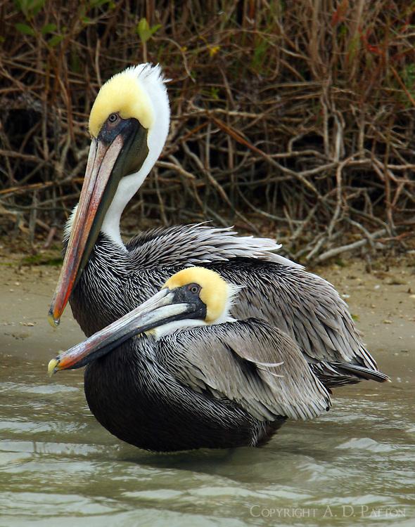 Pair of brown pelicans in breeding plumage