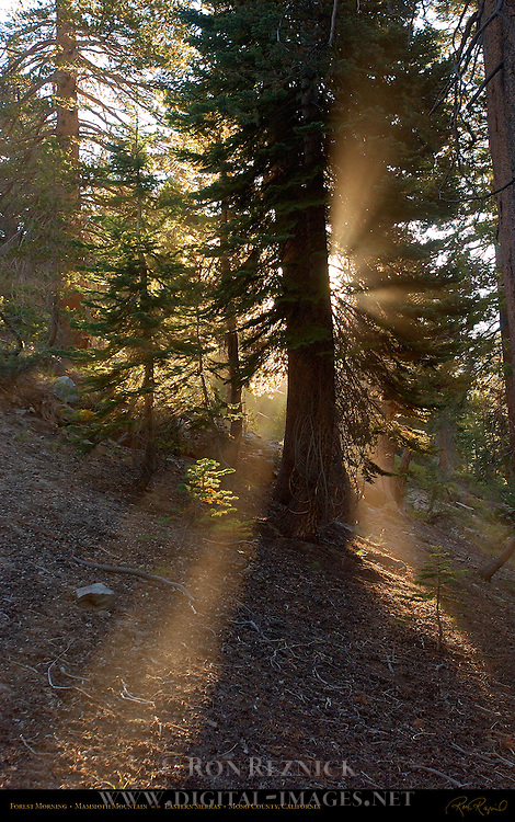 Forest Morning, Mammoth Mountain, Eastern Sierras, Mono County, California