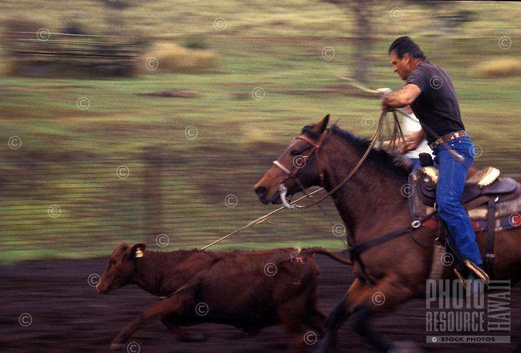 Paniolo (Hawaiian cowboy) on horseback, herding cattle at Parker Ranch, Waimea (Kamuela)