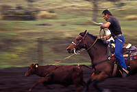Paniolo (Hawaiian cowboy) on horseback, herding cattle at Parker Ranch, Waimea (Kamuela)