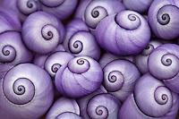 Janthina Violet Shells