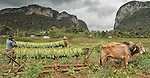 Cuban tobacco farmers load racks of freshly harvested leaves onto carts hauled by oxen -  near Vinales, Cuba.