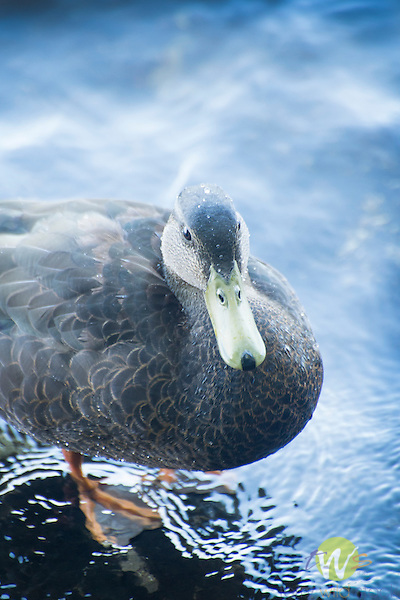 Female black duck. Moosehead Lake. ME.