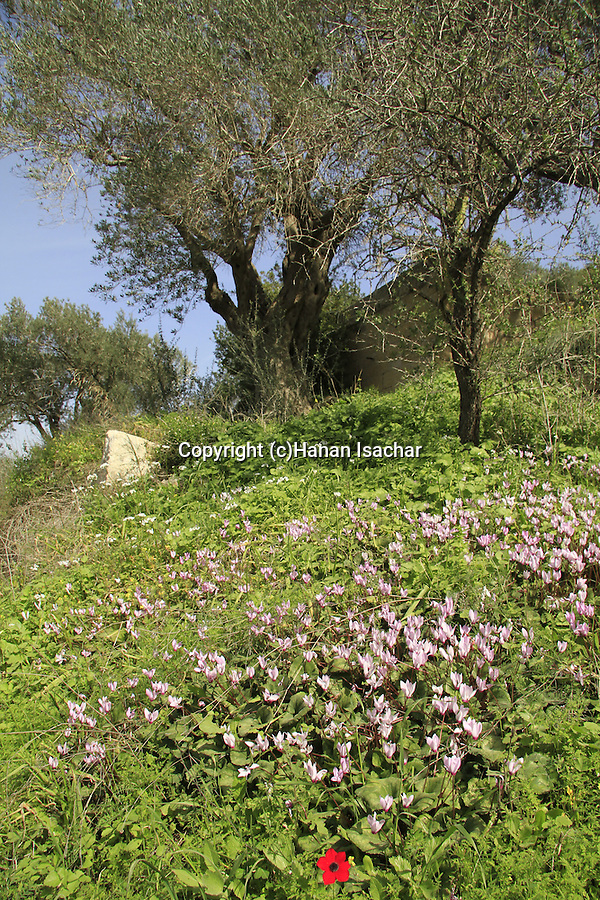 Israel, Jerusalem mountains, Olive trees in Ein Ksalon