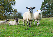 Sheep in a field, Kent, UK.