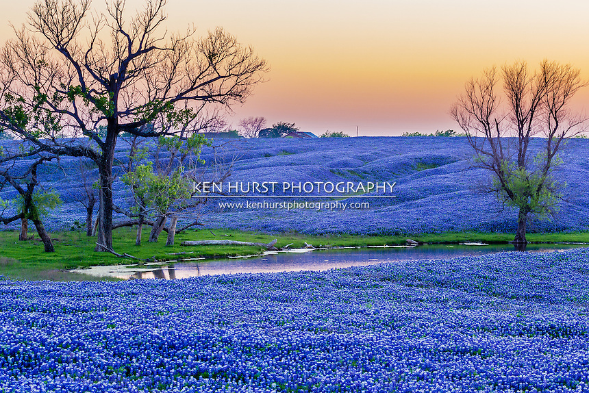 "Vast field of bluebonnet flowers, Texas state flower, along the Bluebonnet Trail in Ennis, Texas in 2012. This image will print in its original size format at 8"" X 12"" or multiples of that size - 4X6, 6X9, 12X18, 16X24, 20X30, 24X36, or 40X60. Any other sizes will require some cropping which you will be able to do before you checkout."