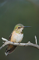 Rufous Hummingbird, Selasphorus rufus, young male perched, Paradise, Chiricahua Mountains, Arizona, USA, August 2005