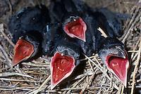 Saatkrähe, Saat-Krähe, Krähe, Küken, Jungvögel, sperrend im Nest, Corvus frugilegus, rook