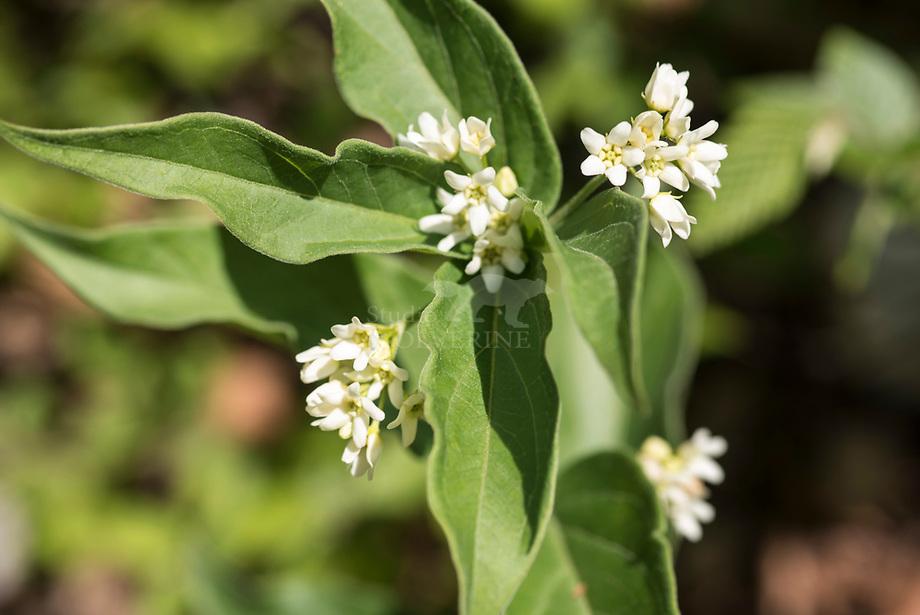 Witte Engbloem (Vincetoxicum hirundinaria)