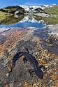 Male Alpine Newt (Ichthyosaura / Triturus alpestris) in mountain pool. Nordtirol, Austrian Alps. June.