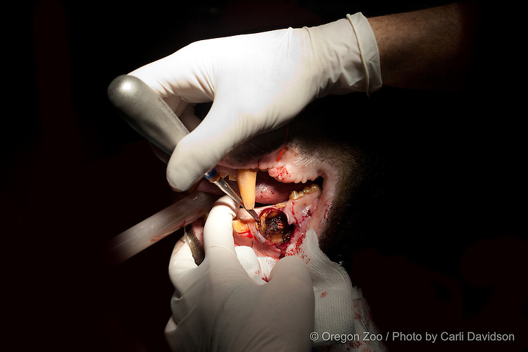A sunbear at the Oregon Zoo recives oral surgery to remove a tooth. © Oregon Zoo / Photo by Carli Davidson