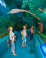 visitors, watching as sharpnose guitarfish, Glaucostegus granulatus, swimming over them in the aquarium tunnel, found in the tropical Indo-Pacific Ocean (c)
