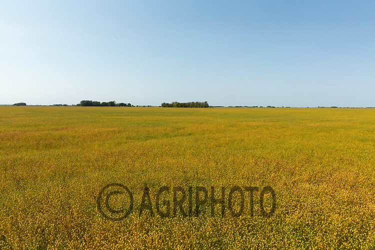 22.6.2020 Linseed before desiccation <br /> ©Tim Scrivener Photographer 07850 303986<br />      ....Covering Agriculture In The UK.