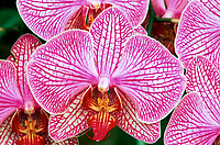 Phalaenopsis Orglade's Chequered Flag orchid hybrid of Lady Ruby x Marquise (Candy-striped Moth Orchid)