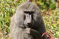 Male Olive Baboon, Papio anubis, in Ngorongoro Crater, Ngorongoro Conservation Area, Tanzania
