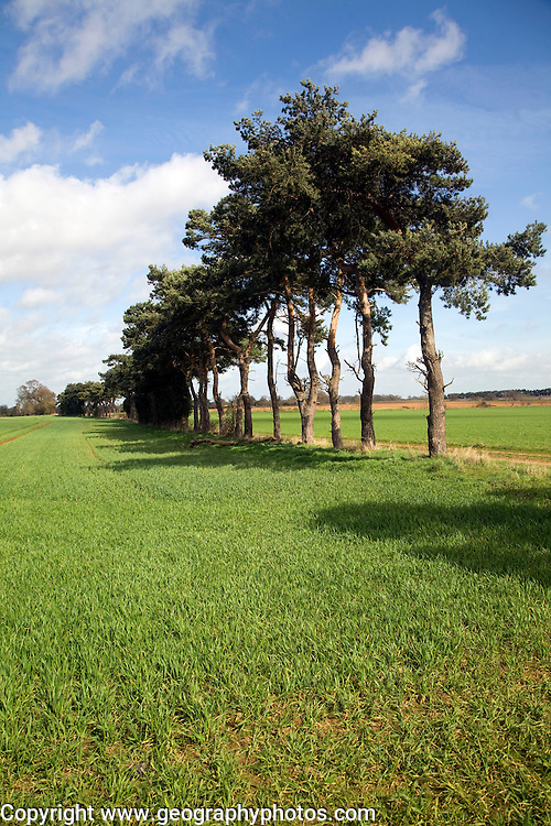 Pine trees act as ancient field boundary markers, Shottisham, Suffolk, England