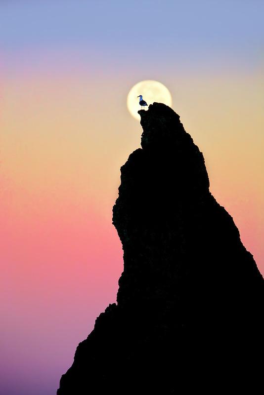 Full moon stting over rock at Bandon Beach with seagull. Bandon, Oregon