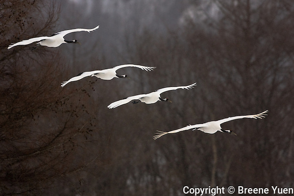 A group of Red Crested Japanese Cranes approach for a landing near Akan, Hokkaido, Japan, February 2008