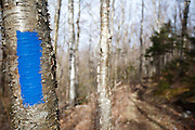 Trail Blaze on birch tree along the Skookumchuck Trail in the White Mountains, New Hampshire USA during the spring months.