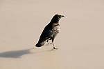 Black crow walking on ice
