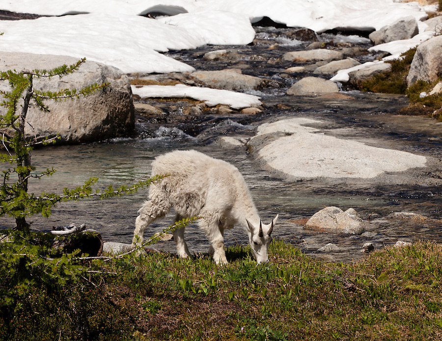 A single mountain goat grazes along a stream near Lake Viviane in Washington State's Enchantment Lakes area.
