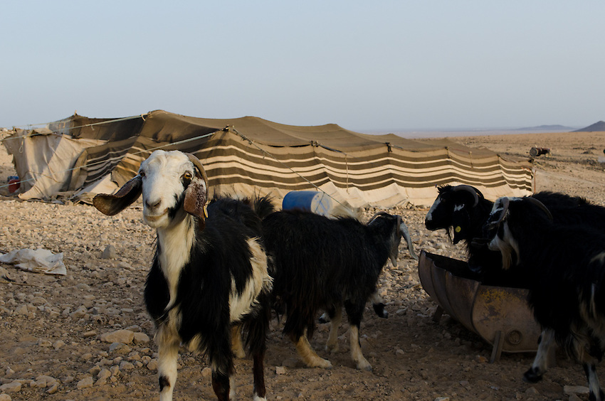 Goats outside of a Bedouin tent near the town of Qadisiyya, Jordan. The tent belongs to a ranger at the nearby nature reserve, who disagrees with many of the park policies but is paid to enforce them.