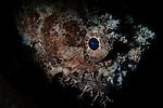 Banded Toadfish Portrait, Halophyrne diemensis, Raja Ampat, West Papua, Indonesia, Pacific Ocean