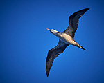 Immature Northern Gannet in Flight. Image taken with a Nikon D800 camera and 70-300 mm VR lens (ISO 800, 300 mm, f/5.6, 1/2000 sec).