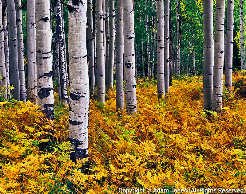 Ferns in autumn among stand of Aspen trunks, Gunnison National Forest, Colorado