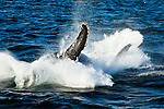 Humpback Whale breaches in the water of Icy Strait, Glacier Bay National Park & Preserve, Southeast Alaska, Summer.