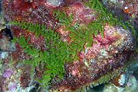 algae, sp?, Lisianski, Papahanaumokuakea Marine National Monument, Northwestern Hawaiian Islands, Hawaii, USA, Pacific Ocean