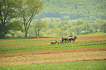 Amishman planting corn in Spring.