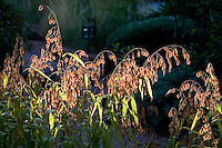 Chasmanthium latifolium, backlit flowering Oat Grass or wood-oats, in meadow garden, Albuquerque, New Mexico (Brittenham)