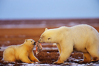 Polar Bears--sow with cub--with chunk of whale meat along the Beaufort Sea coast, Arctic National Wildlife Refuge, Alaska.  Oct.