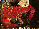 Apo Reef, Sulu Sea -- Splendid red spooner crab at night.