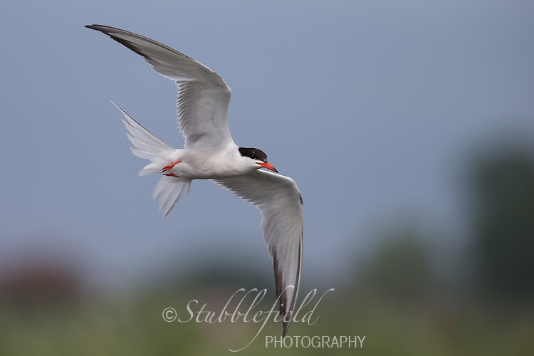 Forster's Tern (Sterna forsteri), adult in breeding plumage in flight at the Oceanside Marine Nature Study Area in Hempstead, New York.