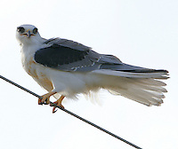 White-tailed kite adult