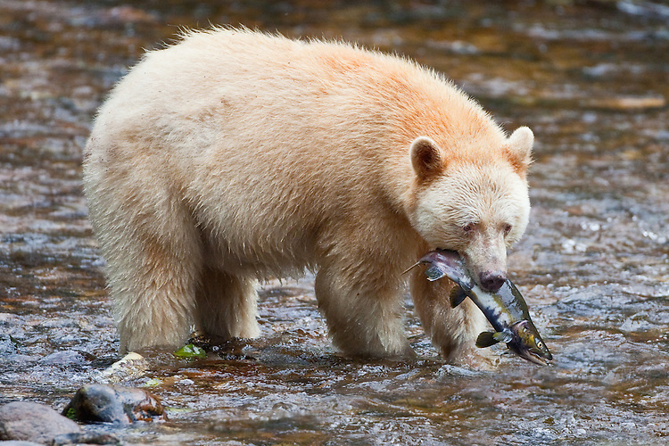 "Kermode ""Spirit"" Bear carrying a Pink Salmon"