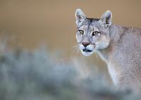 Patagonia 2019 Pumas