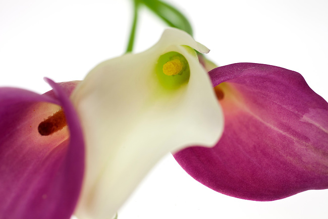 Three Calla Lillies against a white background. Abstract.