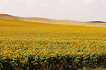 Sunflower field along highway 85 north of Bowman.