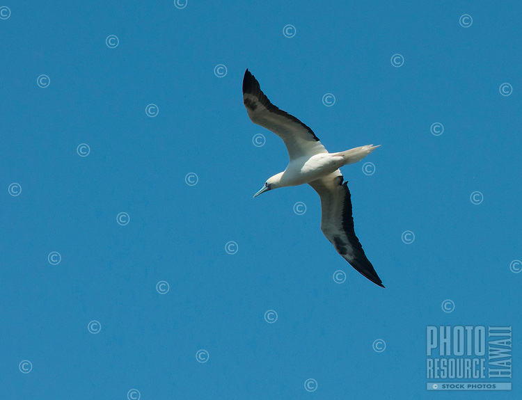 Seabirds such as this red-footed boobie in flight are a common sight at Kilauea Point National Wildlife Refuge, Kauai.