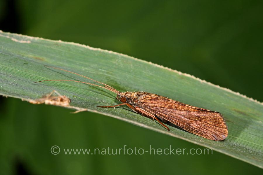 Köcherfliege, Wassergeistchen, Hydropsyche spec., Köcherfliegen, caddisfly, sedge-fly, rail-fly, caddisflies, sedge-flies, rail-flies, Trichoptera