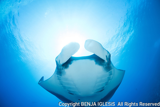 Pelagic manta over the st anthonys wreck, Maui, Hawaii.