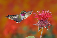 Broad-tailed Hummingbird, Selasphorus platycercus,male in flight feeding on Bee Balm (Monarda didyma),Rocky Mountain National Park, Colorado, USA