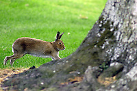 Irish Hare runs around a tree trunk. Ref: 200506286617. This image was taken at the K Club, Co Kildare, Ireland, during the Smurfit European Open Golf Championship practice and Pro-Am days.<br />