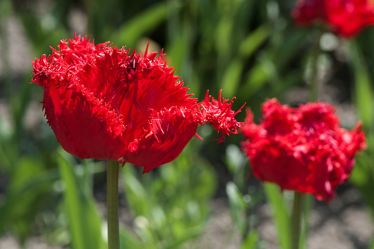 Tulip 'Barbados' (Fringed Group), late April. First introduced 1999.