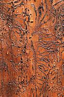 Kupferstecher, Sechszaehniger Fichtenborkenkaefer (Pityogenes chalcographus), Frassbild. | six-dentated bark beetle (Pityogenes chalcographus), galleries.