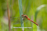 06663-00110 Ruby Meadowhawk dragonfly (Sympetrum rubicundulum) male, Jo Daviess Co.  IL